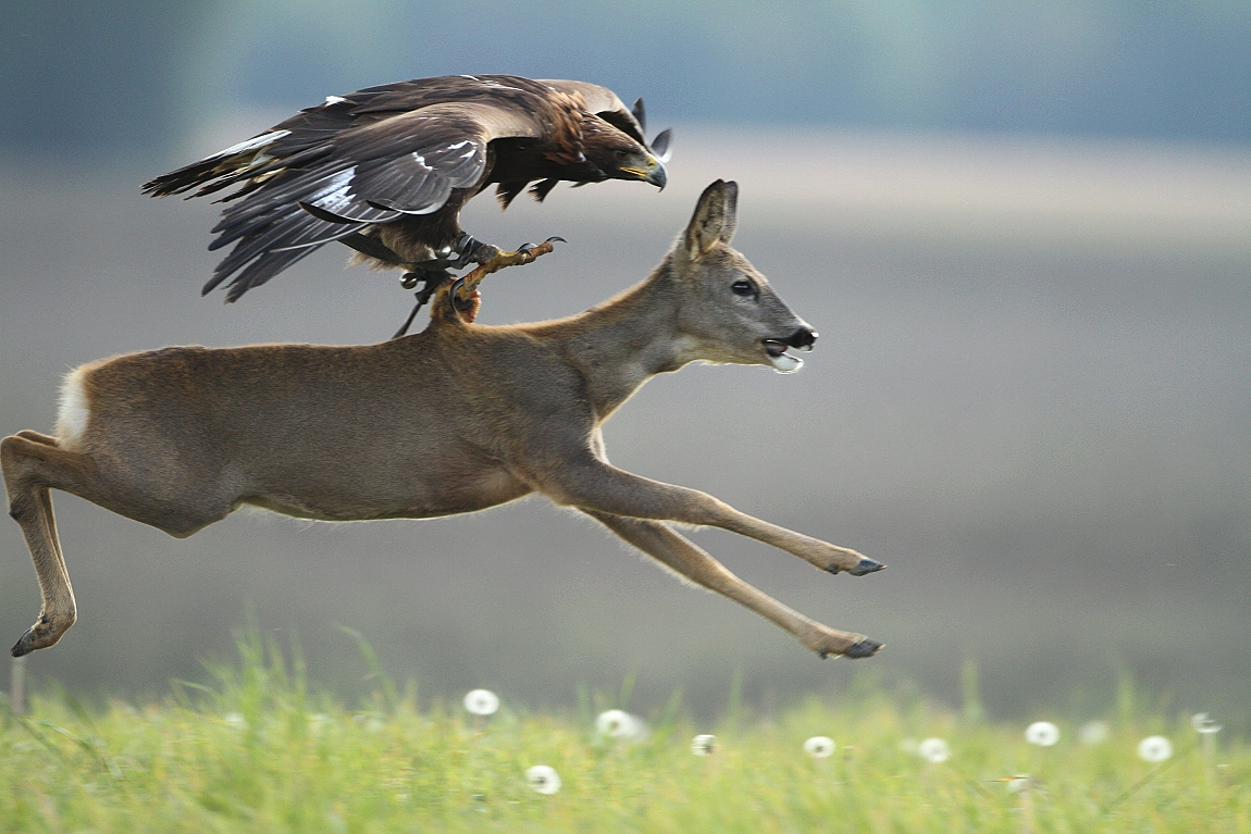 Eagle Hunting Deer Reh Adler Claws Epic Shot Krallen Nature Focus    Golden Eagle Hunting Wallpaper