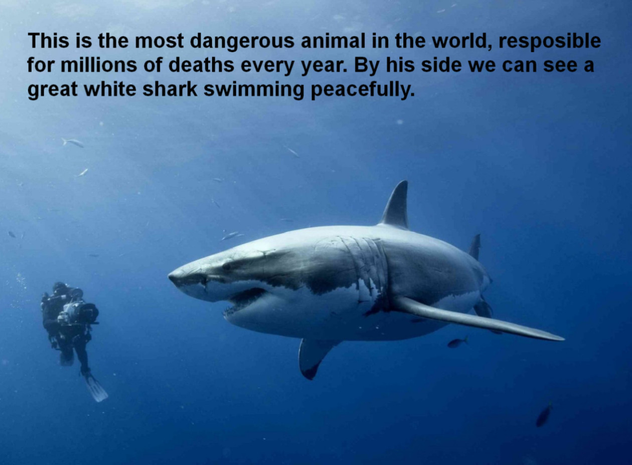 "* responsible human homo sapiens #feartherealkiller great white shark Human Impacts An anomalous and unbalanced predator ""Tatsache ist, dass Schimpansen die höher entwickelte Art sind."" ""The fact is, chimpanzees are the more highly evolved species."" als der mensch FEAR HOMO SAPIENS"